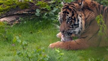 De Sumatraanse tijger (1)