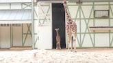 Nog een beetje wankel: kleine giraffe voor eerst naar buiten