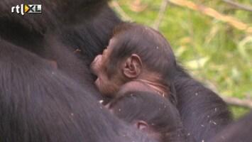 RTL Nieuws Eerste beelden van gorillatweeling