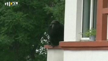 RTL Nieuws Chimpansee ontsnapt in Noord-China
