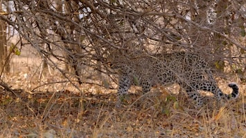 Africa's Hunters - A Leopards Last Stand