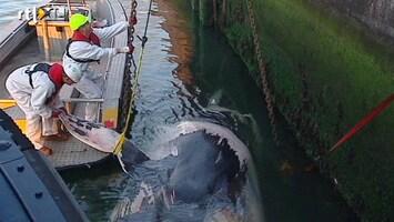 RTL Nieuws Dode walvis in haven Rotterdam gesleept