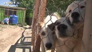 RTL Nieuws Afghaanse zwerfhonden steun voor soldaten