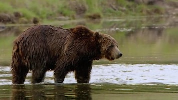 Wild Yellowstone Grizzly summer