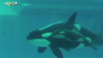 RTL Nieuws Baby-orka geboren op Valentijnsdag