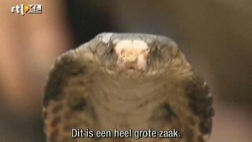 RTL Nieuws Grote lading cobra's onderschept in Thailand