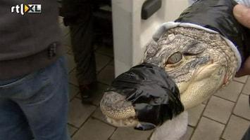 RTL Nieuws 11 krokodillen in Belgische villa