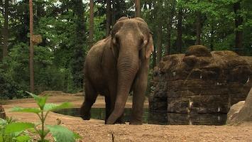 Burgers' Zoo Natuurlijk De Aziatische olifant