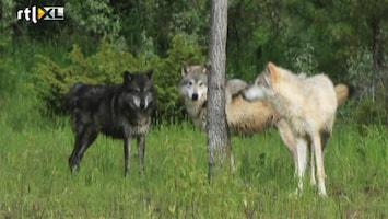 RTL Nieuws Jacht op de wolf geopend