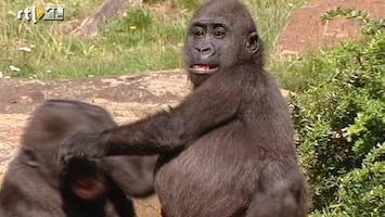 RTL Nieuws Wereldrecord voortplanten voor gorilla Jambo