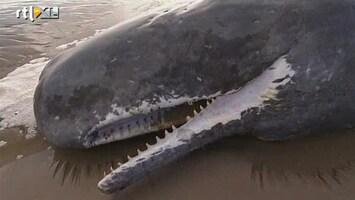 RTL Nieuws 20 potvissen op strand aangespoeld