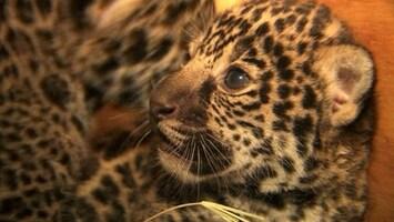 RTL Nieuws Jaguartweeling in dierentuin geboren