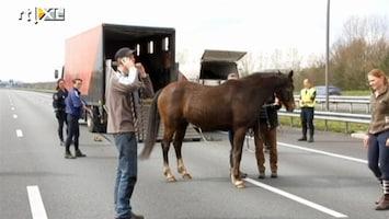 RTL Nieuws Chaos door paarden op snelweg