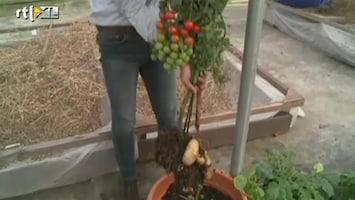 RTL Nieuws De tomtato: twee groenten in één plant