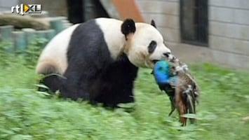 RTL Nieuws Panda doodt pauw
