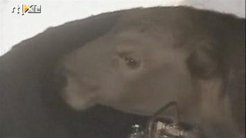 RTL Nieuws Stier gered uit waterput in Chili
