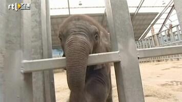 RTL Nieuws Reageerbuisolifantje geboren in Franse dierentuin