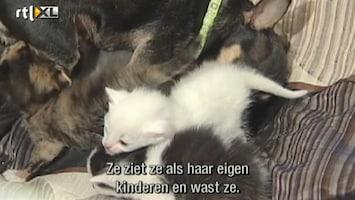 RTL Nieuws Hondje zoogt kittens