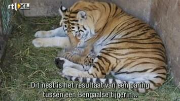 Editie NL Tijger-drieling geboren