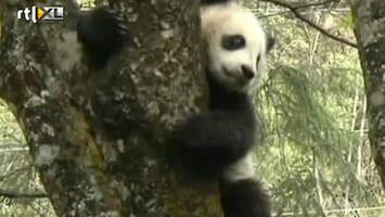 RTL Nieuws Panda Tao Tao moet nog een keer verhuizen