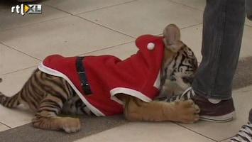 RTL Nieuws Kerst-tijgers in Thaise dierentuin
