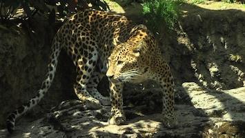 Burgers' Zoo Natuurlijk De Sri Lankaanse panter