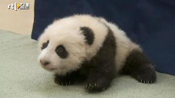 Editie NL Baby-panda zet 1e stapjes!
