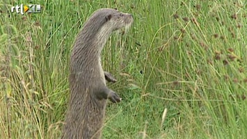 RTL Nieuws Otter is wéér bedreigde diersoort