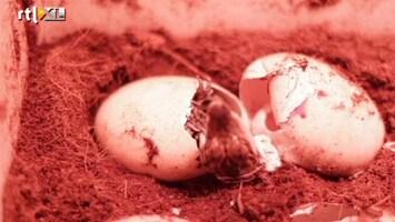 RTL Nieuws Hele zeldzame babykroko's geboren