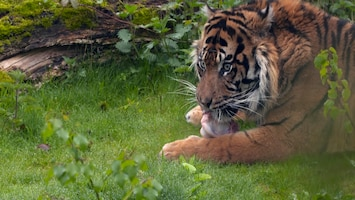 Burgers' Zoo Natuurlijk De Sumatraanse tijger (1)