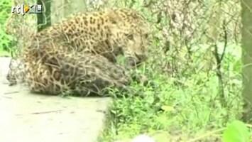 RTL Nieuws Luipaard valt Indiaas dorp aan