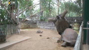 Editie NL Reuzenschildpadden vechten erop los