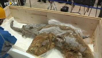 RTL Nieuws Mammoet van 39.000 jaar te bewonderen