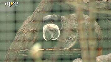 RTL Nieuws Zeldzame aapjes gestolen uit dierenpark Wissel