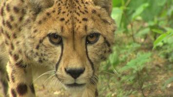 Burgers' Zoo Natuurlijk De cheeta