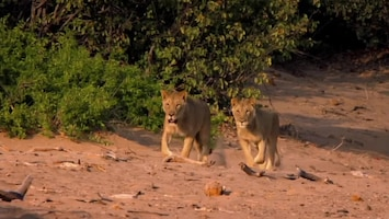 Vanishing Kings - Lions Of The Namib Afl. 1