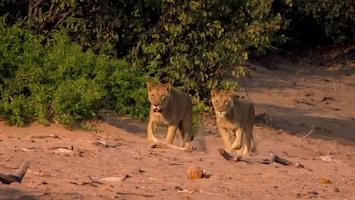 Vanishing Kings - Lions Of The Namib - Afl. 1