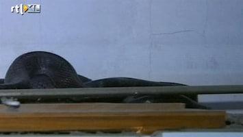 RTL Nieuws Jacht op wilde cobra in appartement in China