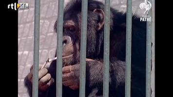 Editie NL Chimpansee is kettingroker en drinkt bier