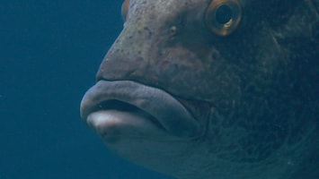 Burgers' Zoo Natuurlijk De reuzendiklipvis