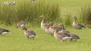 RTL Nieuws Levensgevaarlijke zwermen vogels