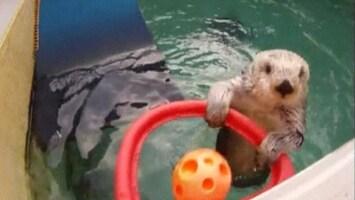 RTL Nieuws Otter speelt basketbal als therapie