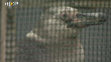 RTL Nieuws Ontsnapte pinguïn weer gevangen