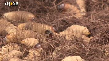 RTL Nieuws 'Bakje larven, goed voor u!'