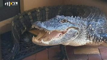 RTL Nieuws Onverwacht bezoek: een alligator op de deurmat