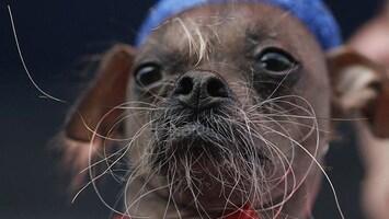 RTL Nieuws Nieuwe lelijkste hond ter wereld gekozen