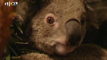 RTL Nieuws Koalabeer officieel bedreigd