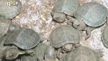 RTL Nieuws Mannen smokkelen 10.000 krioelende schildpadjes