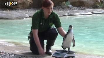 RTL Nieuws Dieren op de weegschaal in de London Zoo
