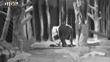 RTL Nieuws Unieke beelden geboorte olifantje in Amersfoort